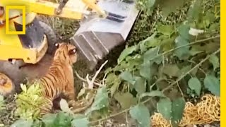 Capture Gone Bad? Was This Tiger Crushed to Death?   National Geographic