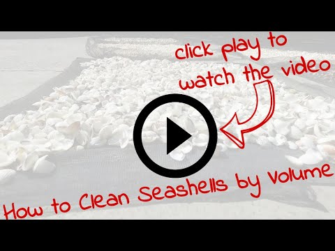 How to Clean Seashells by Volume  - Seashell Wholesale Bulk