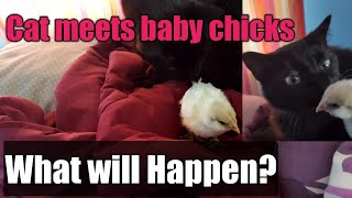 Cat meets one week old baby chicks! What will happen?