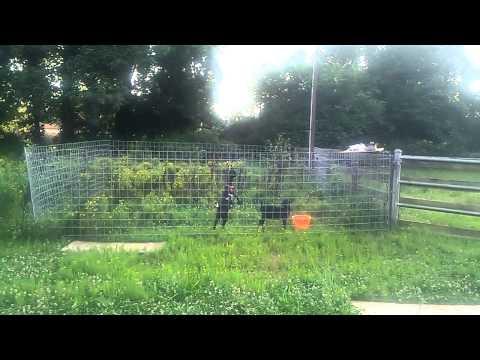 Nigerian dwarf goats testing electric fence