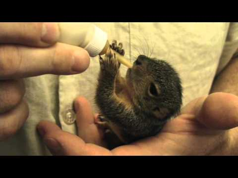 A CUTE baby squirrel bottle feeding