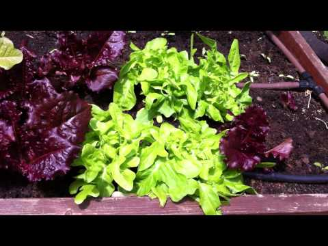 Harvesting leafy greens in your home vegetable garden