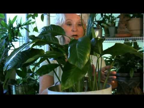 Houseplants #5:  If your leaves turn yellow...