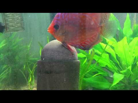 Discus laying eggs HD