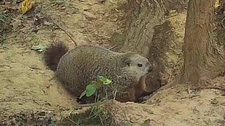 Good Luck For Woodchucks Humane Groundhog Solutions
