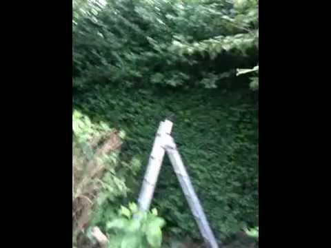 14 Foot high Privet Hedge (Before)