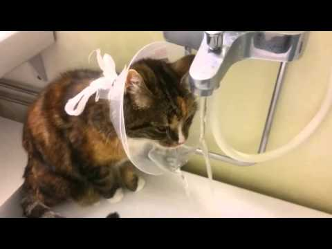 Cute cat drinking water with an E collar on