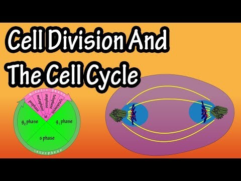 Cell Division And The Cell Cycle - How Do Cells Divide - Phases Of Cell Division