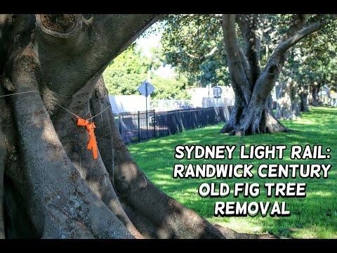 Abandoned Oz: Sydney Light Rail: Randwick Century Old Fig Tree Removal