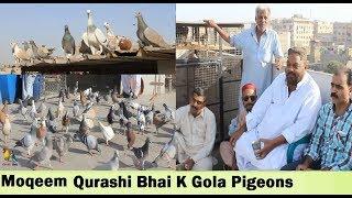 Moqeem Qurashi Bhai K Gola Kabootar in Ramswami Karachi - Pigeons LOFT