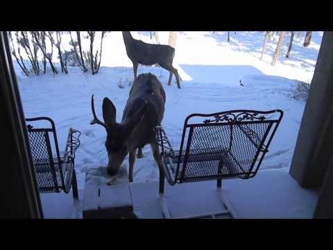 Deer on Porch Eating Apples During Arctic Cold Front at -6 F below zero