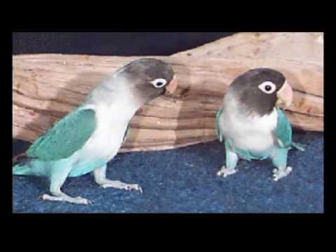 Top 10 best love bird
