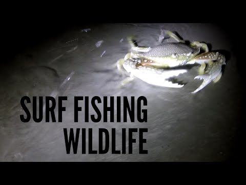 Surf Fishing Padre Island - Awesome Wildlife!