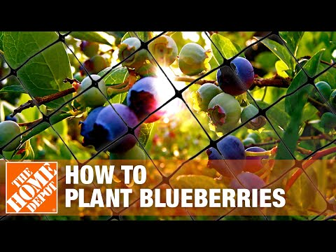 How To Plant Blueberries- The Home Depot