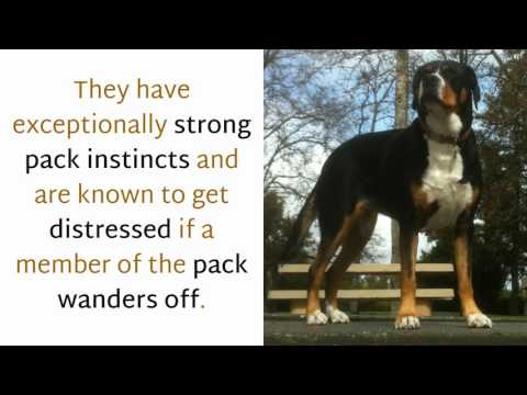 13 Facts You Should Know About Great Swiss Mountain Dog