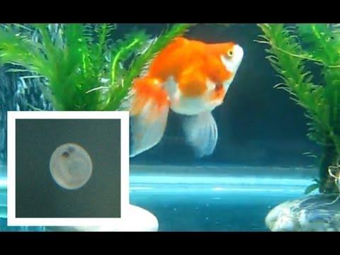 Ryukin Goldfish Laying Eggs