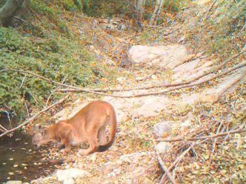 San Gabriel mountain lion #2