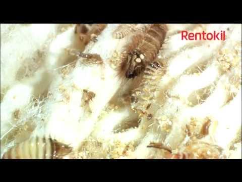 Textile Pests - Clothes Moths and Carpet Beetles Rentokil