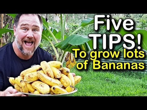 5 Tips How to Grow a Ton of Bananas in the Backyard