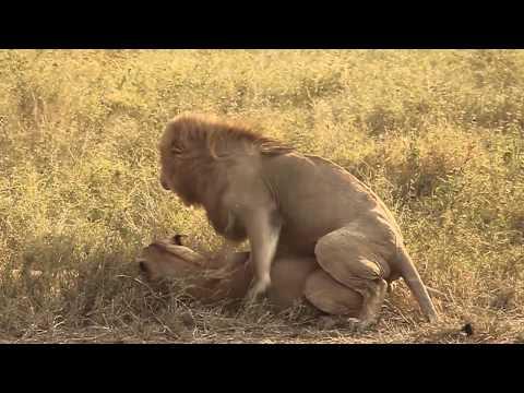 Xxx Mp4 Fucking Lion Lion 39 S Having Sex 3gp Sex