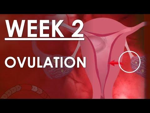 The Pregnancy   English   Week 2