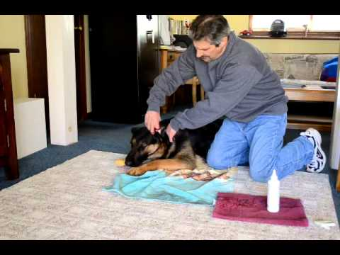 Cleaning Dogs Ears Video