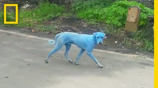 Blue Dogs Spotted in India—What