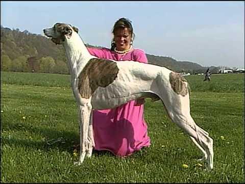 Xxx Mp4 Greyhound AKC Dog Breed Series 3gp Sex