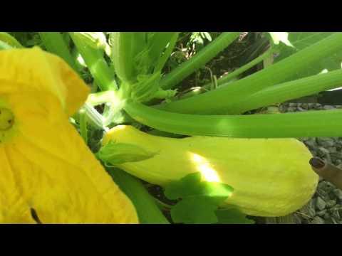 Garden Tip - When To Harvest Squash