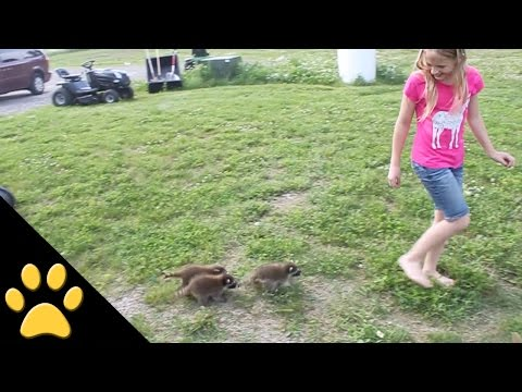 Baby Raccoons Follow a Girl Wherever She Goes