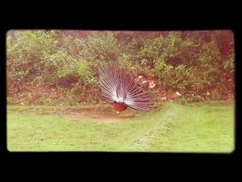 Peacock spread it beautiful feather 👀👀