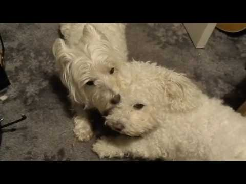 West Highland Terrier removing eye staining from Bichon Frise