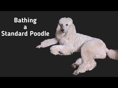 Bathing a Standard Poodle