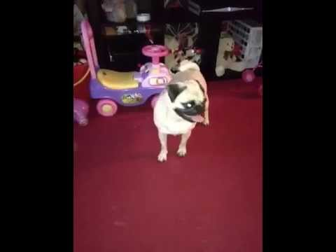 pug in 1st stage of labour
