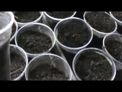 Copy of Planting Okra seeds in plastic cups