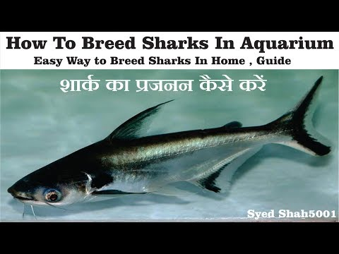 How to breed shark fishes at home breedig pangasius catfish in Aquarium