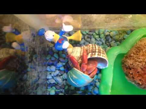My land hermit crab changes shells!