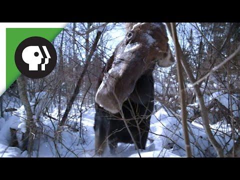 Brain Parasite Turns Moose Into Zombie