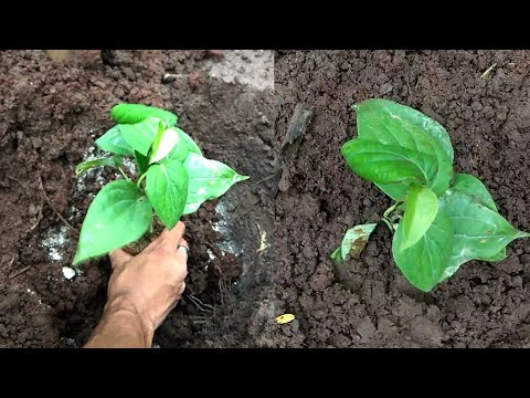 how to grow black pepper plant at home