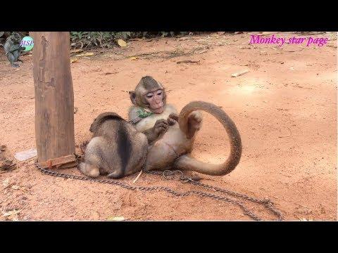 Monkey clean mouth ear eye of dog | Monkey Sambo part 08