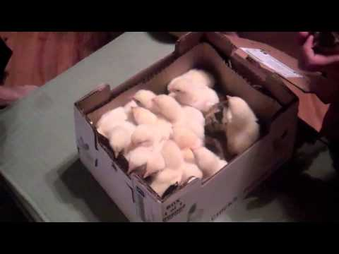 The Baby Chickens Arrive IN THE MAIL!