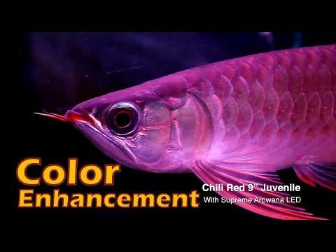Silver Arowana's Color Enhancement With Light - OF Supreme Arowana LED