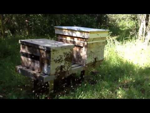 Honeybees swarming into