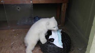 2012 Polar Bear Cub at the Toronto Zoo