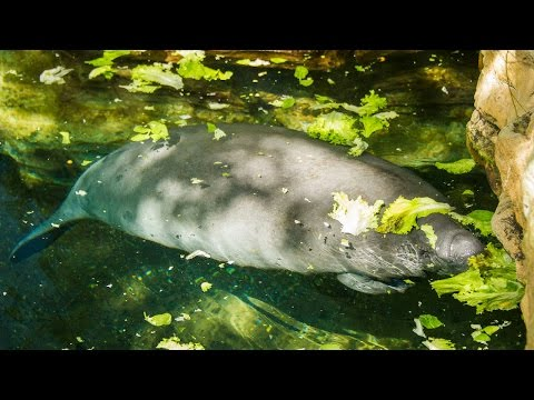 Rescued Manatee Blanche Makes Her Return To The Wild   SeaWorld®