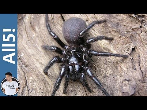 5 Of The Deadliest Spiders In The World!