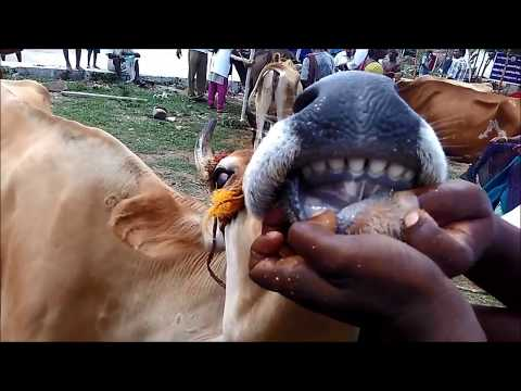 Dentition and Ageing in Cattle