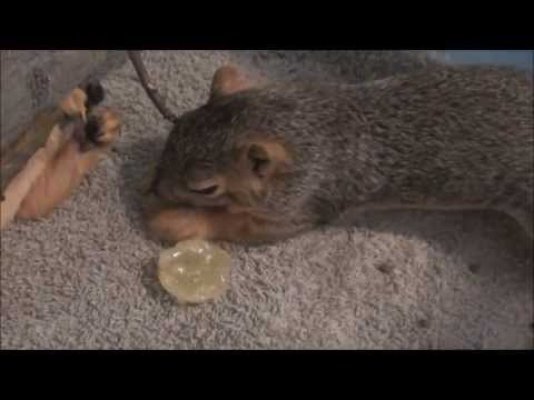 Baby Squirrel Project - Day 41 - Eating Solid Food!
