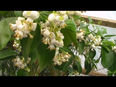 Lots Of Citrus Growing In Containers