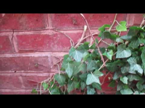 Landscape Ivy Removal Hagerstown MD Washington County MD